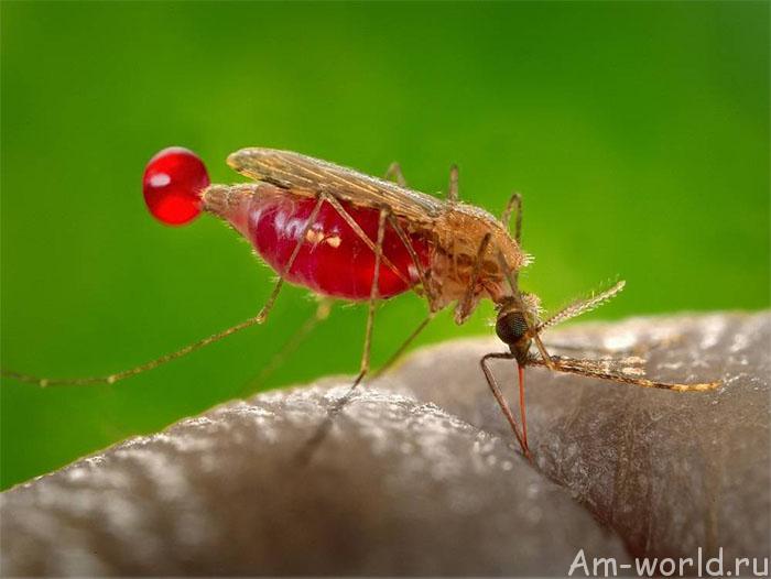 ДНК человека из комара