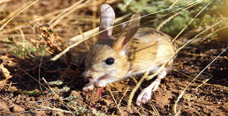 Тушканчики - миниатюрные кенгуру